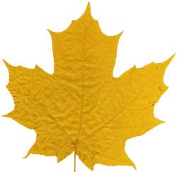 Preserved-leaf-yellow
