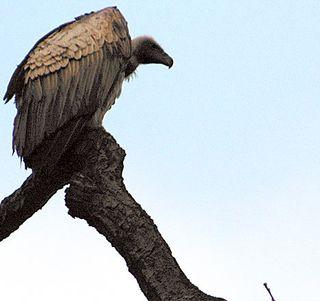 Vulturepic_468x440