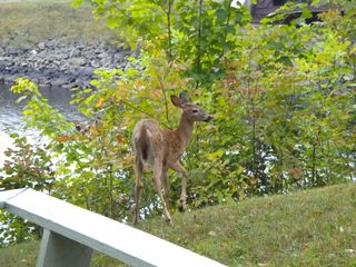 Fawn by porch