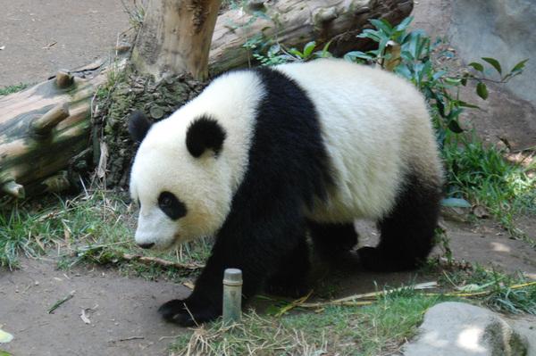Panda1small_3